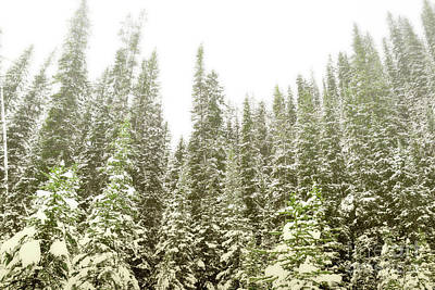 Photograph - Banff Canada Pine Trees Snow by Andrea Hazel Ihlefeld