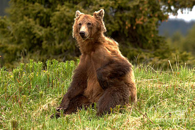 Photograph - Banff Grizzly Deep In Thought by Adam Jewell