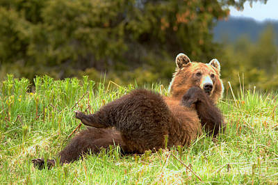 Photograph - Banff Showboating Grizzly by Adam Jewell
