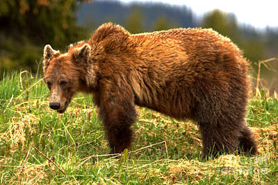 Photograph - Banff Wandering Grizzly by Adam Jewell