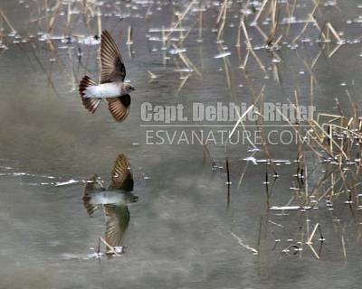 Photograph - Bank Swallow 7242 by Captain Debbie Ritter