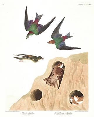 Swallow Wall Art - Painting - Bank Swallow by John James Audubon