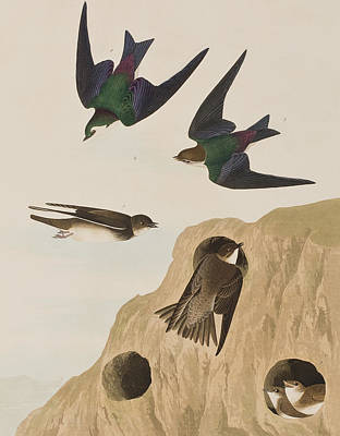 Violet Drawing - Bank Swallows by John James Audubon