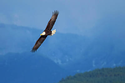 Photograph - Banking Eagle 2 by Sharon Talson