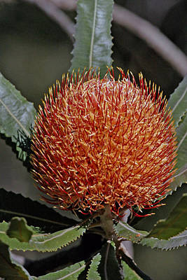 Photograph - Banksia Attenuata by Tony Brown