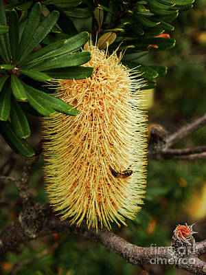 Australian Bees Photograph - Banksia In Bloom 2 by Lexa Harpell