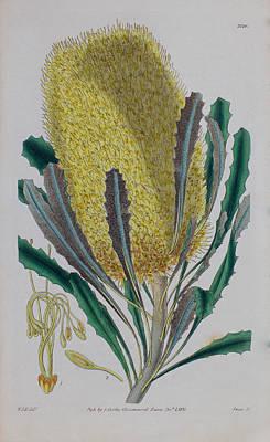 Native Plants Drawing - Banksia Media - 1831 by Curtis Botanical Magazine