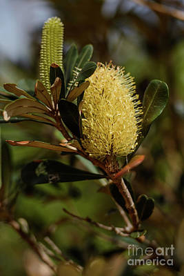 Photograph - Banksia Syd01 by Werner Padarin