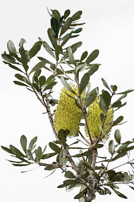 Photograph - Banksia Syd02 by Werner Padarin