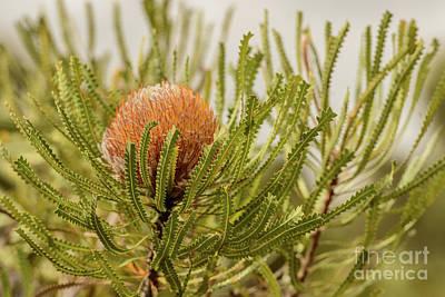 Photograph - Banksia Wa02 by Werner Padarin
