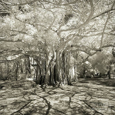 Photograph - Banyan Strangler Fig Tree by Martin Konopacki