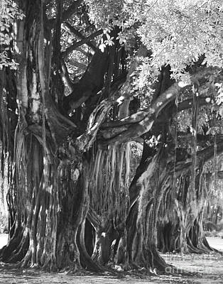 Photograph - Banyan Tree At The Museum by Robert  Suggs