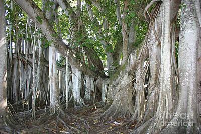 Photograph - Banyan Tree Beauty by Carol Groenen