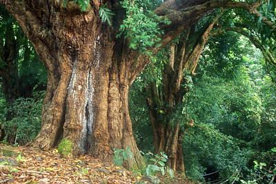 Photograph - Banyan Tree Haleakala National Park by John Burk