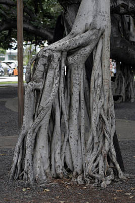 Photograph - Banyan Tree, Maui by Kenneth Campbell