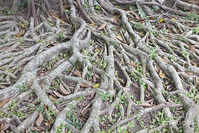Banian Photograph - Banyan Tree Roots by Roberto Morgenthaler