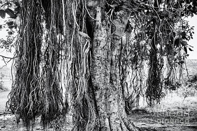 Photograph - Banyan Tree by Tim Gainey