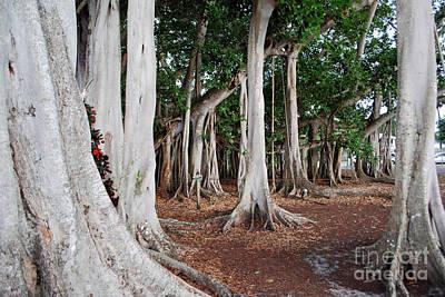 Photograph - Banyan Trees by Gary Wonning