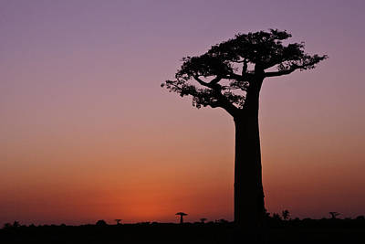 Photograph - Baobab At Sunset by Michele Burgess