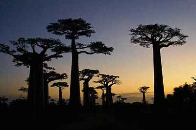Photograph - Baobab Forest At Sunset by Michele Burgess