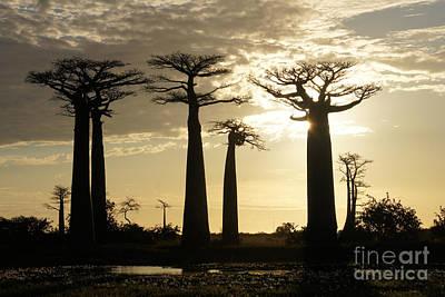 Photograph - Baobab Parkway Madagascar 4 by Rudi Prott