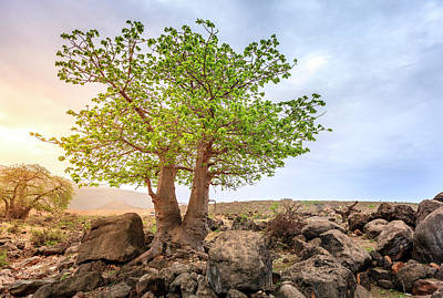 Art Print featuring the photograph Baobab Tree by Alexey Stiop
