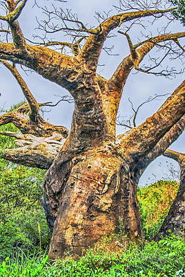 Photograph - Baobab Tree by Pamela Williams