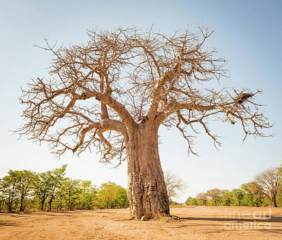 Keith Richards Royalty Free Images - Baobab Tree Royalty-Free Image by THP Creative