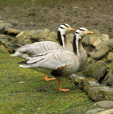 Photograph - Bar-headed Gooses by Elenarts - Elena Duvernay photo