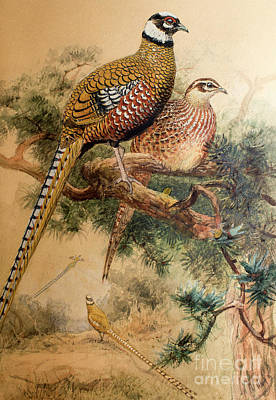 Wild Animals Painting - Bar-tailed Pheasant by Joseph Wolf