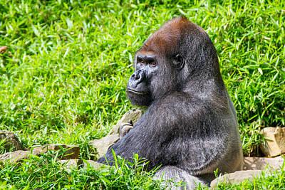 Baraka - Western Lowalnd Silverback Gorilla Art Print