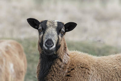 Photograph - Barbados Blackbelly Sheep Portrait by Belinda Greb