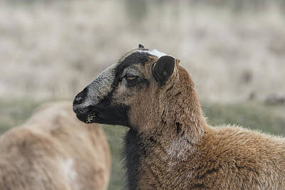 Photograph - Barbados Blackbelly Sheep Profile by Belinda Greb