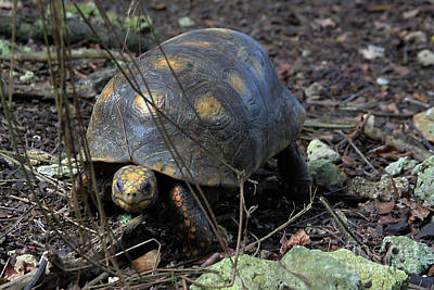 Photograph - Barbados Wildlife Reserve-red Footed Tortoise #1 by PJ Boylan