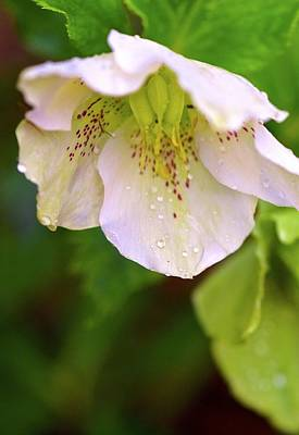 Photograph - Barbara's Lenten Rose Cup by Gwendolyn Christopher