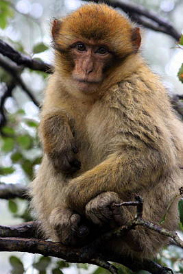 Photograph - Barbary Ape by Ramona Johnston