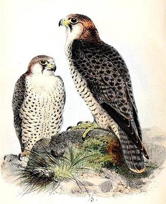 Painting - Barbary Falcon by Reproduction