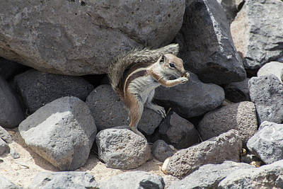 Photograph - Barbary Groud Squirrel by Pietro Ebner