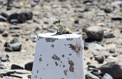 Photograph - Barbary Ground Squirrel by Pietro Ebner