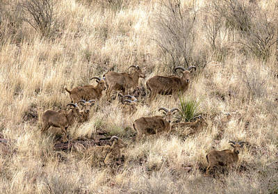 Photograph - Barbary Sheep by Betty Depee