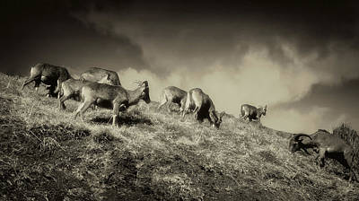 Photograph - Barbary Sheep by Joseph Hollingsworth