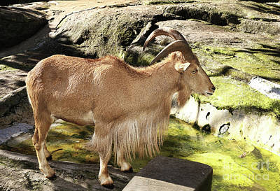Photograph - Barbary Sheep Showing Long Hair By Kaye Menner by Kaye Menner