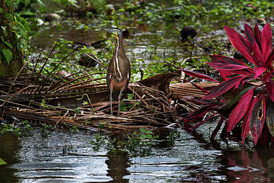 Photograph - Bare-throated Tiger-heron by James David Phenicie
