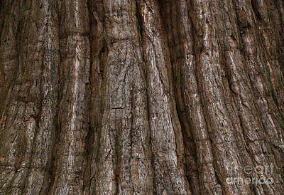 Photograph - Bark Of The Redwood Tree by Nareeta Martin