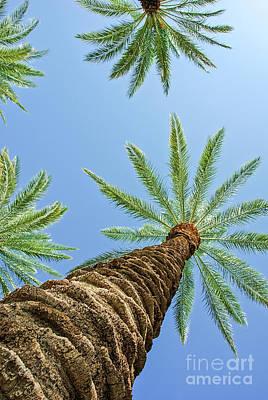 Photograph - Barking Palm Trees by David Zanzinger