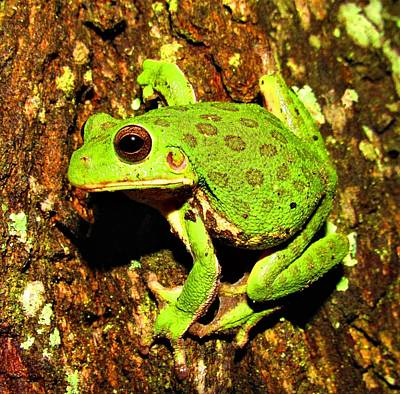 Photograph - Barking Tree Frog by Joshua Bales