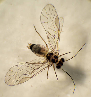 Photograph - Barklouse With Wings Spread by Douglas Barnett