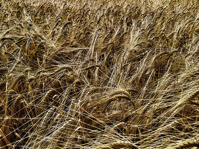 Photograph - Barley by RKAB Works
