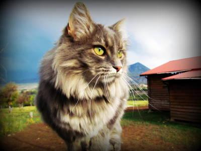 Fuzzy Digital Art - Barn Cat by Krista Carofano