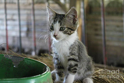 Photograph - Barn Kitten by Nina Silver